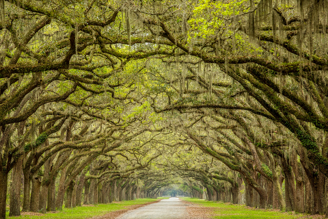 Spanish moss trees lining the main road in wormsloe state park in savannah, georgia.