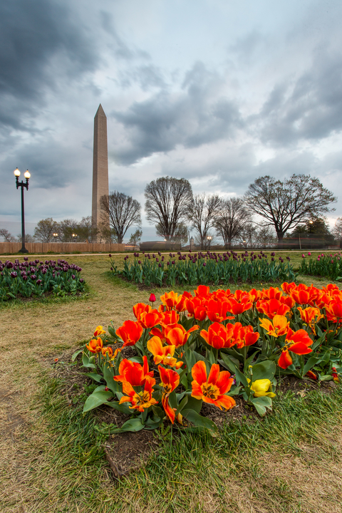 Tulips in bloom at the Floral Library in front of the Washington Monument, Washington, D.C.
